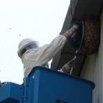 蜂の巣駆除1